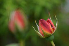 もうすぐ開花  DSC_8685