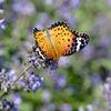 美しい翅 DSC_4706