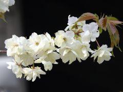 鬱金桜 1 DSCN7442