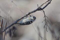 セピアな野鳥 DSC_6651