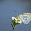 野の花とモンシロチョウ DSC_6829