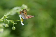 野の花にベニシジミ DSC_5983