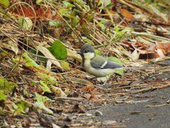 シジュウカラの若鳥 DSCN7711