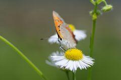 野の花にベニシジミ 1 DSC_5956