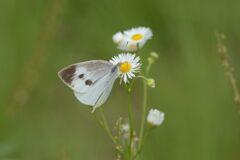 野の花にモンシロチョウ DSC_6385