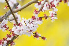 春の色 梅(レンギョウ背景に)  DSC_8431