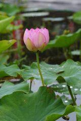 雨上がりの信濃国分寺蓮園 1 DSC_6322