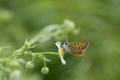 野の花にベニシジミ 2 DSC_5987