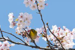 平成最後の桜ジロー DSC_9673