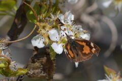 リンゴの残花にテングチョウ   DSC_8899