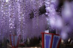 藤祭りの朝