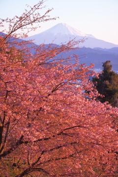 春はすぐそばに(桜色)