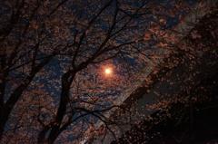 高架の街灯と桜