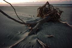 砂丘の流木