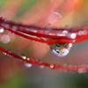 雨上がり朝の彼岸花
