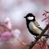 桜のシジュウカラ