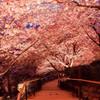 今年初の夜桜