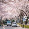 はだの桜みち-3