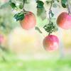 りんご。。♪