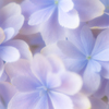そろそろ紫陽花の季節。。♪