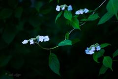 紫陽花。。♪