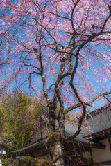 竹寺のしだれ桜