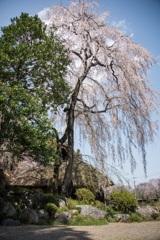 古民家のしだれ桜