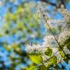 マンナトネリコの花