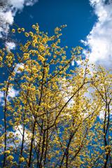 青空にサンシュユの花