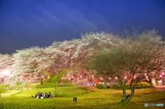 埼玉県幸手 権現堂桜です