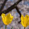 見上げると桜。