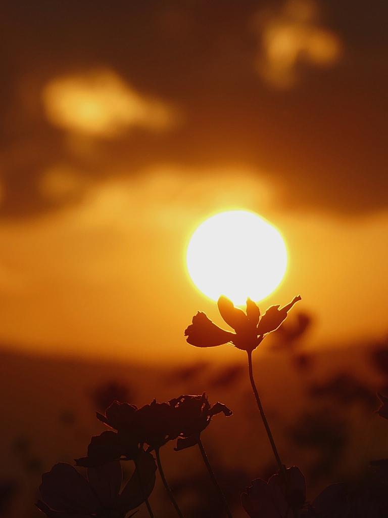 滋賀 新庄町コスモス園の夕日