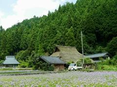 京都 久多 友禅菊の里