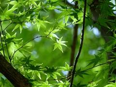 京都 木もれ陽