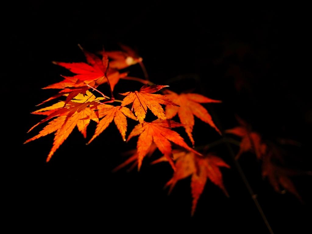 京都 もみじの情熱