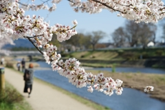 京都 賀茂川 春の訪れ