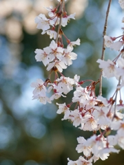京都 醍醐寺 桜舞い
