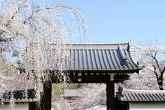 京都 醍醐寺さくら