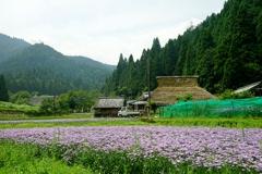 京都 久多 友禅菊の夏