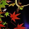 京都 楓の舞い