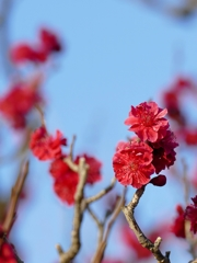 京都 智積院 遅れていた梅の咲き
