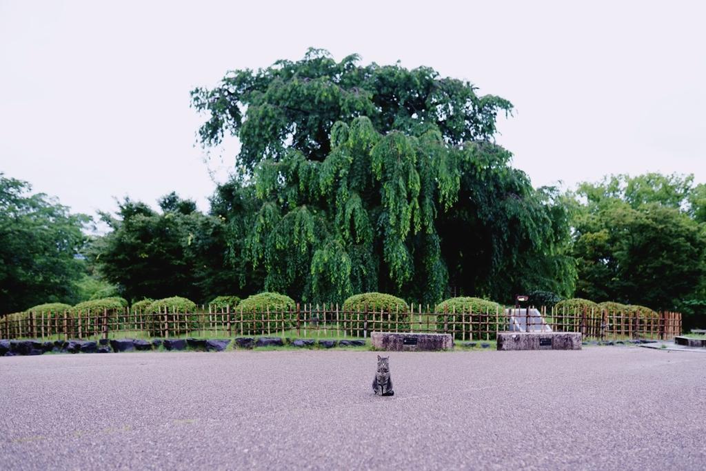 京都 桜守の猫ちゃん