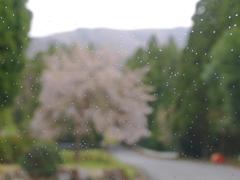 京都 越畑 桜&雨