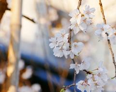 京都 桜 春のスター