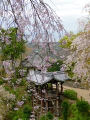 京都 善峯寺 しだれ桜の里