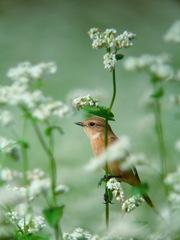 ノビタキと蕎麦の花