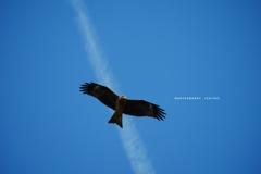飛行機雲とトンビ