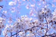 blue sky & cherry blossoms