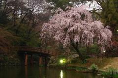 枝垂れ桜 - DSC09255