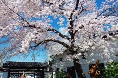 黄桜酒場の桜